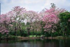 Albero di tromba o rosea rosa di Tabebuia Immagini Stock Libere da Diritti