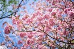 Albero di tromba o rosea rosa di Tabebuia Fotografie Stock Libere da Diritti