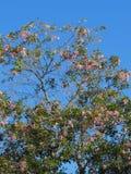 Albero di tromba rosa in fioritura Fotografie Stock Libere da Diritti