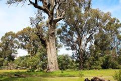 Albero di Tuart vicino alla foresta di Ludlow Tuart Immagini Stock Libere da Diritti