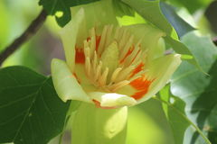 Albero di tulipano Fotografie Stock Libere da Diritti