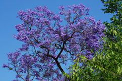 Albero di Violet Jacaranda Fotografia Stock