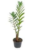 Albero di zamifolia di Zamioculcas Immagini Stock Libere da Diritti