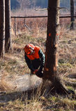 Albero diritto di taglio del boscaiolo Immagine Stock Libera da Diritti