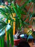 Albero domestico della pianta Immagini Stock Libere da Diritti