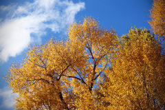 Albero dorato Fotografia Stock Libera da Diritti