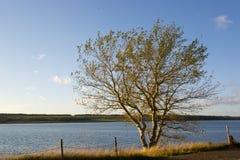 Albero dorato in Acadie Fotografia Stock Libera da Diritti