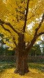 Albero dorato del ginkgo Fotografia Stock