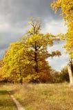 Albero dorato di una quercia in autunno Immagine Stock