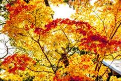 Albero dorato giallo delle foglie dell'acero, luce solare arancio contro il cielo, stagione degli alberi di acero di autunno nel  Immagine Stock Libera da Diritti