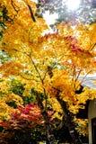 Albero dorato giallo delle foglie dell'acero, luce solare arancio contro il cielo, stagione degli alberi di acero di autunno nel  Fotografia Stock
