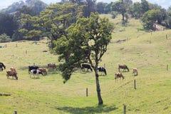 Albero e bestiame Fotografia Stock