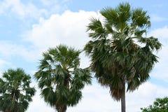 Albero e cielo blu della palma da zucchero Immagine Stock Libera da Diritti