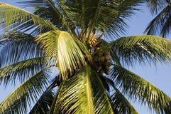 Albero e cielo blu di noce di cocco Fotografie Stock Libere da Diritti