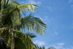 Albero e cielo blu di noce di cocco Fotografie Stock