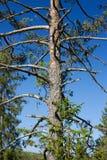 Albero e cielo blu di pino Immagini Stock