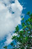 Albero e cielo blu di plumeria Fotografia Stock