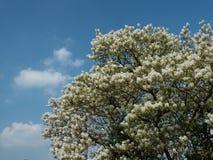 Albero e cielo blu sboccianti bianchi Immagini Stock Libere da Diritti