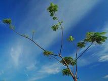 Albero e cielo blu verdi Fotografia Stock