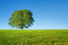 Albero e cielo blu verdi Fotografie Stock Libere da Diritti
