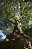 Albero e corteccia che osservano in su Fotografie Stock Libere da Diritti