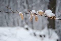 Albero e foglia del ramo coperti dai fiocchi di neve fotografia stock libera da diritti