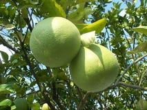 Albero e frutti del pummelo del pomelo Immagini Stock