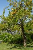Albero e giardino di limone immagini stock