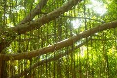Albero e luce in foresta Fotografia Stock Libera da Diritti
