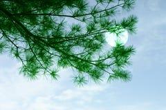 Albero e luna di pino Immagine Stock