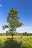 Albero e paesaggio nelle alte paludi, Belgio di verde Fotografie Stock