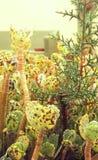 Albero e piante del deserto di abete all'aperto delle piante Fotografia Stock