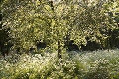 Albero e prezzemolo di mucca bianchi di fioritura in primavera Fotografie Stock