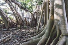 Albero e radici di banyan sani della roccia Fotografia Stock