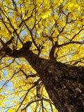 Albero ed i suoi fllowers gialli di bellezza fotografia stock libera da diritti