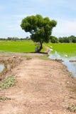 Albero ed il riso del campo Fotografia Stock Libera da Diritti