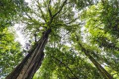 Albero enorme della foresta pluviale in Bali Fotografia Stock Libera da Diritti
