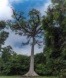 Albero enorme nel parco di Tikal Oggetto facente un giro turistico nel Guatemala con le tempie maya e le rovine di Ceremonial fotografia stock