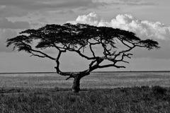 Albero enorme nel parco nazionale di Serengeti Immagine Stock