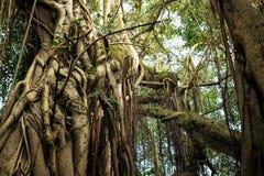 Albero enorme nella giungla immagine stock