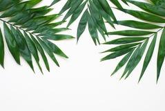 Albero esotico tropicale Isoalted delle foglie verdi della palma su fondo bianco Holliday Patern Template immagine stock