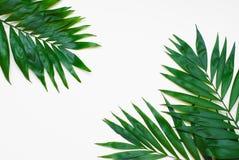 Albero esotico tropicale Isoalted delle foglie verdi della palma su fondo bianco Holliday Patern Template fotografie stock