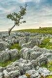Albero esposto al vento con le rocce interessanti del calcare in priorità alta Immagine Stock