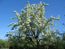 Albero in fiore Immagine Stock