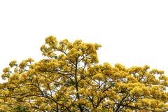 Albero (fiore di pavone) isolato su fondo bianco Immagine Stock Libera da Diritti