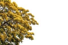 Albero (fiore di pavone) isolato su fondo bianco Fotografie Stock Libere da Diritti