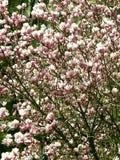 Albero fiorito della magnolia con i grandi fiori rosa Fotografia Stock