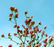 Albero fiorito della magnolia con i grandi fiori rosa Immagine Stock Libera da Diritti