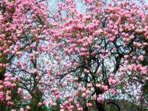 Albero fiorito della magnolia con i grandi fiori rosa Immagine Stock