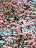 Albero fiorito della magnolia con i grandi fiori rosa Fotografie Stock Libere da Diritti